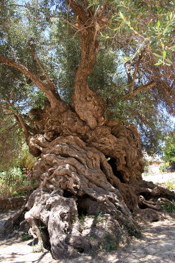 the olive tree of Vouves, Crete