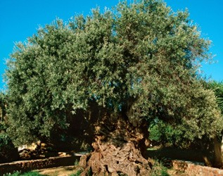olive oil: antiquity and symbolic meanings